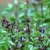 ریحان، گیاه سرشار از آنتی اکسیدان