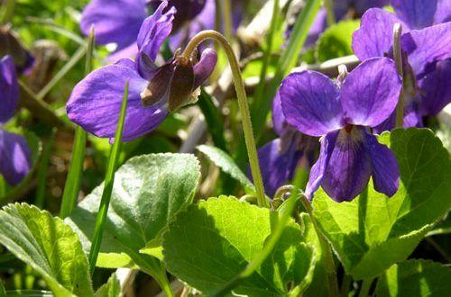 خواص گیاه بنفشه چیست ؟