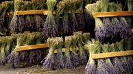 خشک کردن قسمت های مختلف گیاهان دارویی