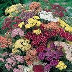 گیاه بومادران چه فوایدی برای سلامتی دارد؟