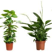 گیاهانی که هوای خانه را تصفیه می کنند